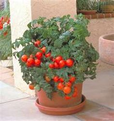 Use banana peels, egg shells, coffee grounds and crushed Tums with calcium when planting tomatoes
