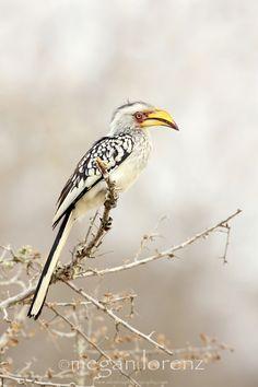"""""""Banana Bird"""" ~~~ *Yellow-Billed Hornbill* """"Kruger National Park, South Africa""""   [Photographer ~Megan Lorenz~ August 14 2011]"""