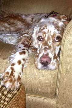 English Setter - THAT is the LOOK. Like, what DO you think you are doing to me? Really?