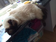 Sasha helping us dream up new designs #cat #ragdoll #manager #trouble #GGJewellery