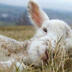ahhhh sie wissen was ber bein gut ist amp 39 ein trump she Vegan Animals, Farm Animals, Animals And Pets, Funny Animals, Cute Animals, Wildlife Photography, Animal Photography, Sheep And Lamb, Mule Deer
