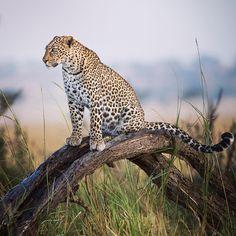 Leopard // Tanzania // Eric Sambol Photography