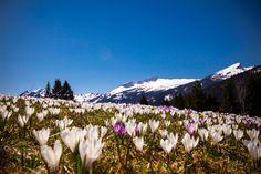Krokuszeit im Kleinwalsertal #Ifen #kleinwalsertal #krokusse #austria Mountains, Nature, Travel, Alps, Naturaleza, Viajes, Destinations, Traveling, Trips