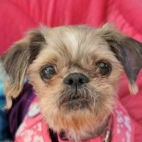 ADOPTED!!! Cute Muttville mutt: Dotty 2861 (Shih tzu  | Female | Size: small (6-20 lbs)) Age: 10 years