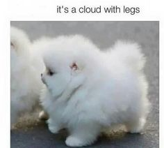 Its A Cloud With Legs cute animals dogs adorable dog puppy animal pets funny animals funny pets funny dogs Funny Animal Jokes, Cute Funny Animals, Funny Dogs, Baby Animals Pictures, Cute Animal Pictures, Animals Images, Cute Puppies, Cute Dogs, Pomsky Puppies