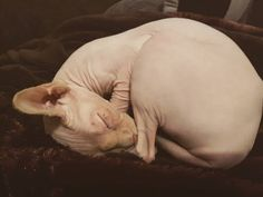 Little Chicken (#PalmerPaws)#sphynxtagram#sphynxcat#cat#sphynxlove#sphynx#sphynxlair#catworld#baldisbeautiful#socute#play#catofinstagram#montreal#sphynxofinstagram#instagood#adorable#arianagrande#cute#nakedcat#instacat#petagram#playtime#animals#hairlesscat#ilovemycat#baby #catsofinstagram#petsofinstagram#cats by cleopatra.sphynx