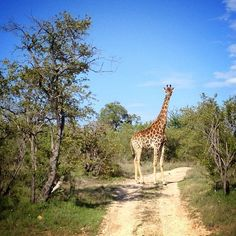 A giraffe appears from the foliage in Kruger National Park