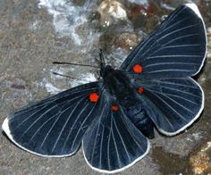 Melanis cephise white tipped pixie from central mexico