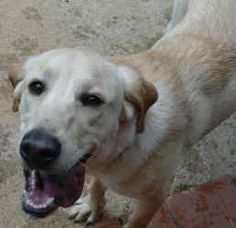 Gunner is an adoptable Labrador Retriever Dog in Greensboro, NC. Meet Gunner, a 7 month old, male purebred Yellow Labrador puppy. Gunner is a loving and happy dog - he is wonderful with children and o...