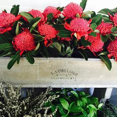 I just love flower styling with native blooms and this bunch is no exception, they are just amazing! Waratah Flower, Australian Native Flowers, Flower Fashion, Just Amazing, Love Flowers, Nativity, Floral Design, 21st, Bloom