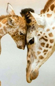 baby & mom giraffe head to head