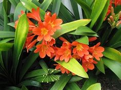 How to grow the the bush lily (aka kaffir lily), a beautiful shade-loving container plant that has orange, red or yellow flowers that resemble geranium flowers. Shade Flowers, Large Flowers, Yellow Flowers, Lily Care, Geranium Flower, Landscaping Jobs, Container Plants, Shade Garden, Geraniums
