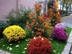 Geranios rojos jardiner a pinterest geranios rojos - Como cultivar crisantemos ...