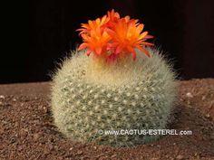 Brasilicactus haselbergii-HU 48