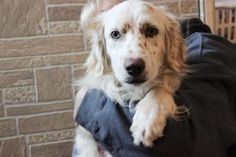 05/17/16--Meet Evan, an adoptable Setter looking for a forever home. If you're looking for a new pet to adopt or want information on how to get involved with adoptable pets, Petfinder.com is a great resource.
