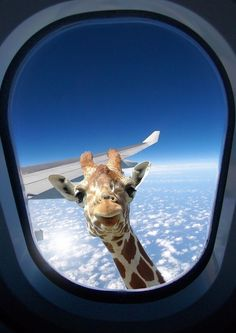 Forget birds new giraffe model capable of reaching heights up to 35000 feet. Cute Funny Animals, Cute Baby Animals, Funny Cute, Animals And Pets, Cute Dogs, Animal Wallpaper, Wallpaper Iphone Cute, Cute Wallpapers, Giraffe Art