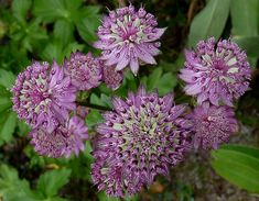 Astrantia major 'Star of Beauty'