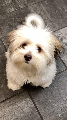Havanese puppy hypoallergenic dog fluffy puppy small breed family dog