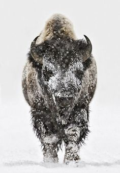 """I've always admired how animals can stolidly endure whatever Nature hands them. Titled """"Bison Head-on In Snow (by Charles Glatzer) -- Tumblr"""