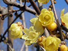Very Fragrant chimonanthus praecox / Japanese allspice - winter blooming, shrub.