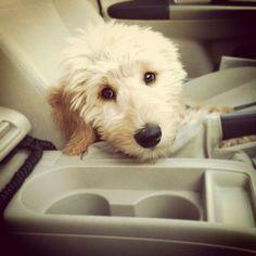 #goldendoodle #golden #doodle #doodles #cute #puppy #dogs #goldenretriever #poodle #fluffy