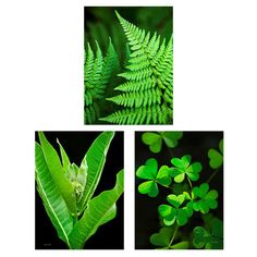 Title: Set of 3 Botanical Prints Medium: Unframed photographic print set Orientation: Vertical or Square FREE DOMESTIC SHIPPING  • SAVE 33% OFF my regular print price for all sizes when you buy this set.  Set of three plant prints, green fern, clovers, and milkweed. Fine art photography prints, professional grade photo paper, standard photographic finish, archival quality. • VIEW MORE FLOWER & PLANT PRINTS http://etsy.me/2dDCOUc • VIEW MORE PHOTO PRINT SETS http:/&#x2F...
