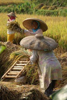 Rice Fields - West Java, Indonesia
