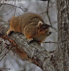 Tennessee Watchable Wildlife | Eastern Fox Squirrel (Hunted)