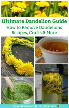 We have put together the Ultimate Dandelion Guide - complete the history of the dandelions, how to remove them from your yard, dandelion recipes, dandelion crafts and tips for how to appreciate dandelions. Organic Gardening, Gardening Tips, Gardening Vegetables, Vegetable Garden, Herbal Remedies, Natural Remedies, Dandelion Jelly, Dandelion Leaves, Dandelion Recipes