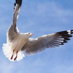 Seagull Flying On Blue Sky Stock Photo - Image: 50068261