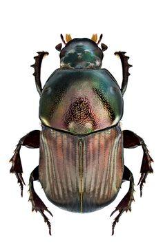 Onitis viridulus (Boheman, 1857) SF Scarabaeoidea F Scarabaeidae