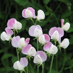 Gr duke of york group img Sweet Pea Flowers, Summer Flowers, Cut Flowers, Sweet Pea Seeds, Ornamental Cabbage, Balcony Plants, Duke Of York, White Wings, Tall Plants
