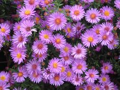 Purple New York Aster Plant