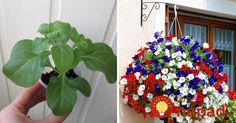 Petunia, 4th Of July Wreath, Garden Design, Floral Wreath, Gardening, Wreaths, Flowers, Plants, Diy