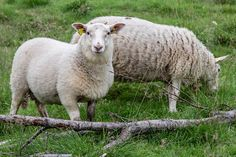 A young ram sheep Landscape Photos, Norway, Sheep, Animals, Animales, Animaux, Animal, Animais, Landscape Pictures