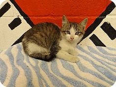 Look at those beautiful eyes.  He is a sweetie waiting on his forever home.  Please hurry this is a HIGH KILL SHELTER!!  Rome, GA - Domestic Shorthair. Meet 13C-2233 (11/10) a Kitten for Adoption.