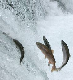 fish jumping over the falls to spawn