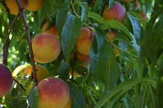 Peach Picking. Lessons in the Peach Orchard. Life Lessons. Mallory Hazel.