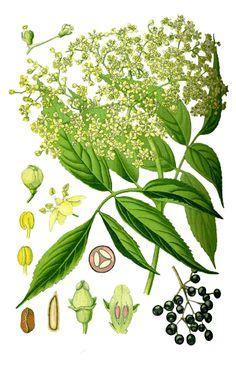 Vlier, gewone (Vlierbes) Sambucus nigra L. (Caprifoliaceae)