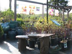 shrubs nursery#arbuste#pepiniere