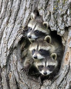 beautiful-wildlife: Raccoon Trio by Jurgen & Chris. beautiful-wildlife: Raccoon Trio by Jurgen & Christine Sohns Nature Animals, Animals And Pets, Wild Animals, Wildlife Nature, Beautiful Creatures, Animals Beautiful, Cute Baby Animals, Funny Animals, Especie Animal