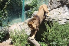 Lion, Zoo Vienna