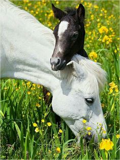 Lovely! !! Mare grazing in a flower field with her foal!