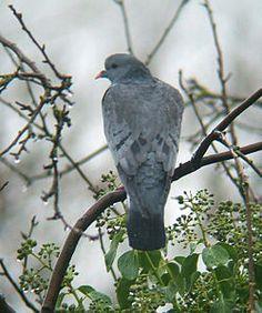 Pigeon colombin — Wikipédia