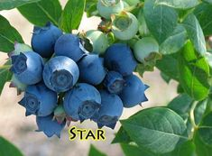 blueberries grown in containers!