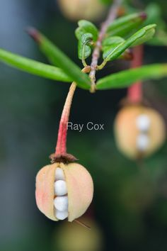 Crinodendron Seed Pods by Ray Cox Unusual Plants, Exotic Plants, Seed Pods, Circle Of Life, Art Of Living, Botanical Illustration, Garden Inspiration, Flora, Berries