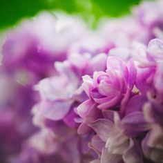 12 Facts Every Lilac Lover Should Know  - TownandCountryMag.com
