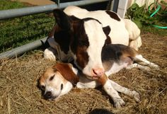 farm life beagle