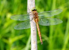 Europe's 10 Most Swift and Vibrant Dragonflies ~Norfolk Hawker Spanish Guitar Music, Smooth Jazz, World Music, New Age, Norfolk, Swift, Vibrant, Europe, Dragonflies