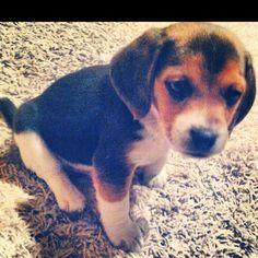 Little Beagle!